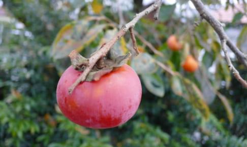 柿がうまい