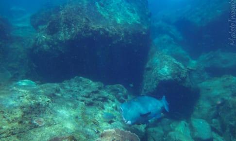 ナポレオンフィッシュ Napoleon fish  Rawa Island