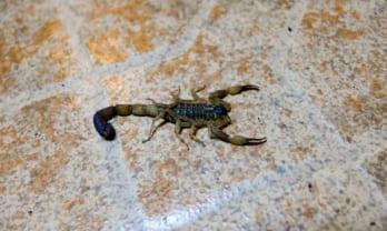 サソリが出た Scorpion