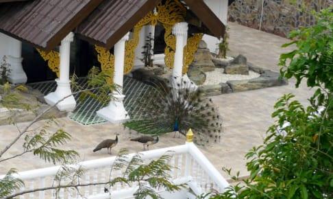 Peacock in Wat Pha Sorn Kaew の孔雀