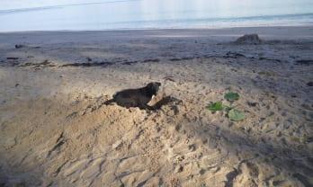 穴掘り文化の発達した犬