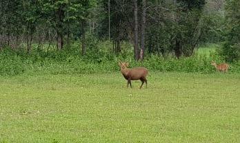 タイにも鹿がいた Phu Khiao Wildlife Sanctuary