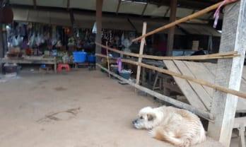 ミャンマーの犬は静か、吠えない