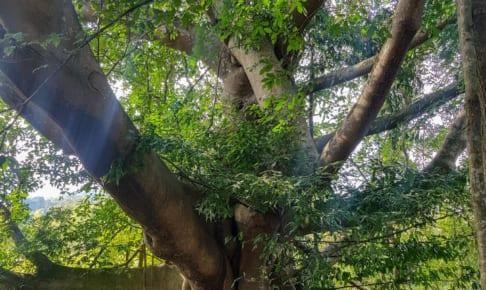 巨木の下で眠りたい