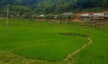 ベトナムの田んぼは常緑
