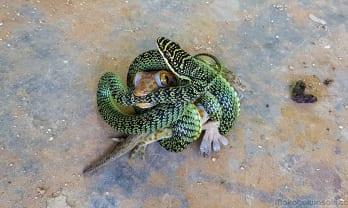 トカイゲッコーと緑蛇の戦い